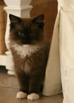 Sepia Ragdoll Cats And Kittens Available In Virginia