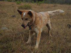 australian cattle dog <3