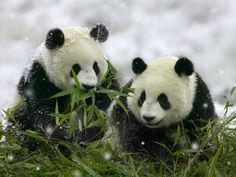 Panda, China  #panda #china #cute #bear http://www.qdkfqsz.com