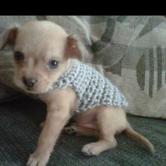 Made this sweater for Rambo. It's  impossible to find patterns for dogs this tiny v