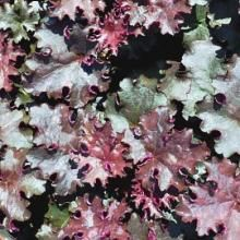 Heuchera Black Knigh