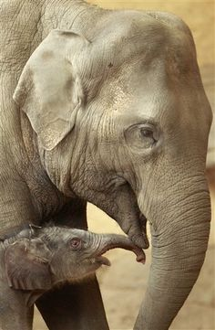 Cute Alert!  One-day-old female Asian elephant baby.