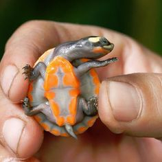 Baby Red-bellied Short-necked Turtle