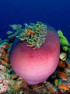 Pink anemonefish in a magnifica sea anemone | Wikimedia