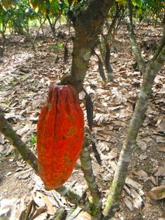 cacao trees abort cocoa pods they cannot support.