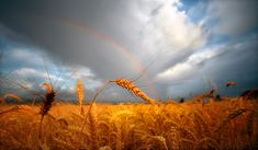 draw, wheat field, picture this, rainbows, rainbow shine, backgrounds, earth, extreme weather, fields