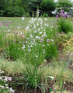 Anthericum ramosum (3), from Opus, spring 2011 - Like Gaura, but better.