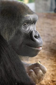 Female Western Lowland Gorilla at the San Diego Zoo