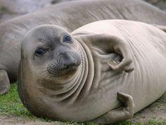 foca ♥
