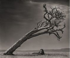 Lion Under Tree by Nick Brandt