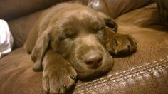 #comfy #cute #snoozing #puppy