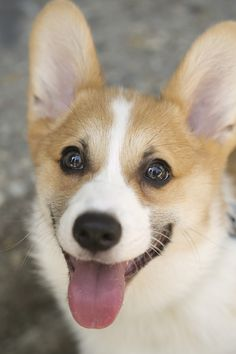 Happy corgi is a happy corgi.