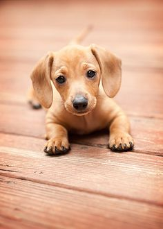 So Cute Doxie!