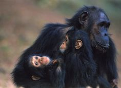 A mother Chimpanzee with her twins