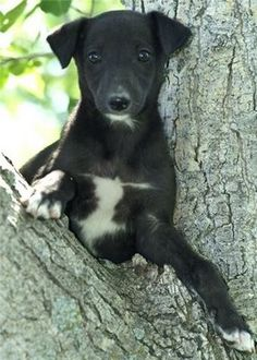 puppies, greyhounds, greyhound puppi, thing