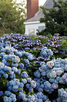 hydrangea's on Cape Cod