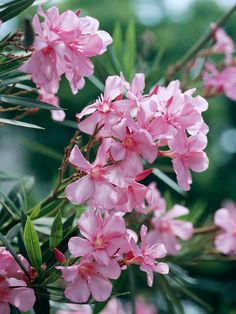Summer-blooming Oleander blooms in shades of pink, purple, yellow, and white. More blooming shrubs: http://www.bhg.com/gardening/trees-shrubs-vines/shrubs/summer-blooming-shrubs/?socsrc071712oleander#page=5