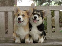 corgi power