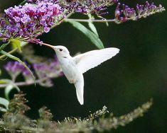 Rare Albino Hummingbird!