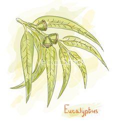 Eucalyptus branch watercolor vector