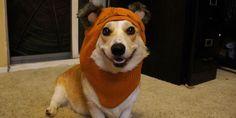 Corgi wearing Ewok hoodie (© Corgnelius the Corgi via tumblr)