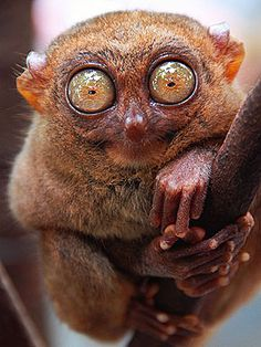 """TARSIER: Call the paparazzi! Getting a good shot of this one is harder than catching Brangelina. """"Pretty shy and high strung, they look like tennis balls bouncing from tree to tree,"""" says Nick Baker, the host of Science Channel's Weird Creatures."""