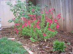 Autumn Sage Planted two of these summer 2013. As of April 21 2014 they still haven't come back. However it has been a really chilly spring.Up to 24-36″ high, space 24-36″ apart. Full sun to part shade. Drought tolerant, Texas approved, zone 8.Slower growing than other salvias, it is a favorite of bees and hummingbird. These can be pruned to maintain a compact, rounded shrub.