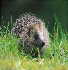 How to Encourage Hedgehogs to Your Garden #stepbystep