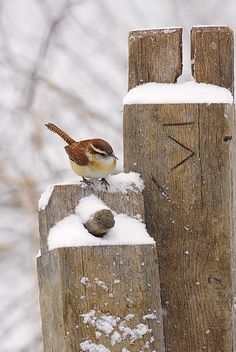 winter wren