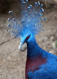 . Victoria Crowned Pigeon