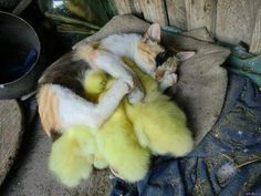 A kitty and her ducklings...how precious is this?