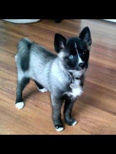 Pomsky! Omg I want one!!! Pomeranian and Husky!!!