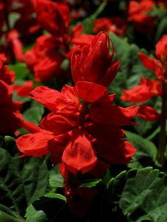 Salvia splendens (annual)