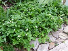 Grow Strawberries as Living Mulch >> http://www.diynetwork.com/outdoors/how-to-choose-mulch-for-your-landscape/pictures/index.html?soc=pinterest