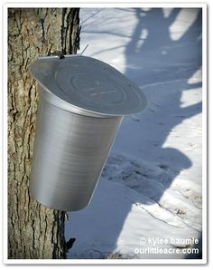 "Our Little Acre: ""My First Experience at Tapping Maple Trees"""