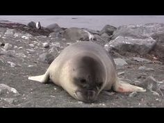 Amazing Encounter with an Adorable Elephant Seal Pup