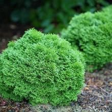 Excellent Boxwood Sh