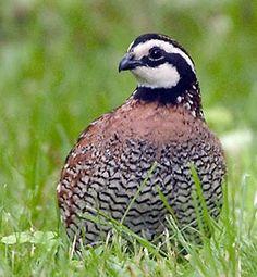 Bob white quail.