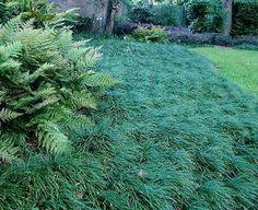 Mondo Grass (compare to Dwarf Mondo and Liriope)