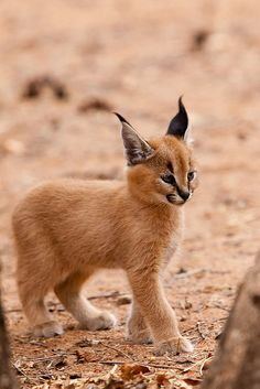 Caracal kitten (Photo by Anthony Ponzo)