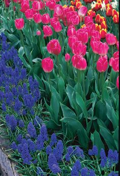 When football season starts and cooler temperatures arrive, it's time to plant bulbs for spring. Dig and store tender bulbs, too, before a freeze turns them to mush. Click on to learn how.