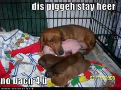 Awwww puppies and baby pig!