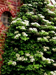 From: Carol's Shade Garden website.    Climbing hydrangea, Hydrangea anomala subsp. petiolaris, best vine for shade; leaves turn yellow in fall, vine has a russet peeling bark, and white blossoms as shown in the fall