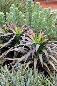 Yuccas and Athanasia pinnata