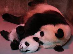 Baby panda snuggling