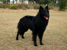 The Belgian Sheepdog was bred in medieval Belgium for herding livestock.  It trains easily, & is now suitable to urban living but its long, smooth coat requires frequent grooming and it has a tendency to bark.