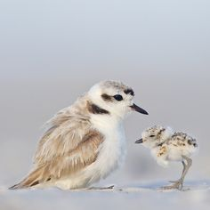 Help Audubon protect Snowy Plovers. Send a gift that shows you remember. Adopt a plover now. $30