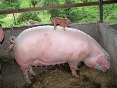 omg i love pigs!!!! so tinyyy!!!