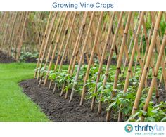 This is a guide about growing vine crops. Most vine crops belong to the squash family. Even a small garden can be planted with these vegetables using trellises or similar supports.