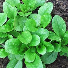 Vit corn salad is also called lamb's lettuce or mache.  Best harvested during cool weather.  From Better Homes and Gardens.